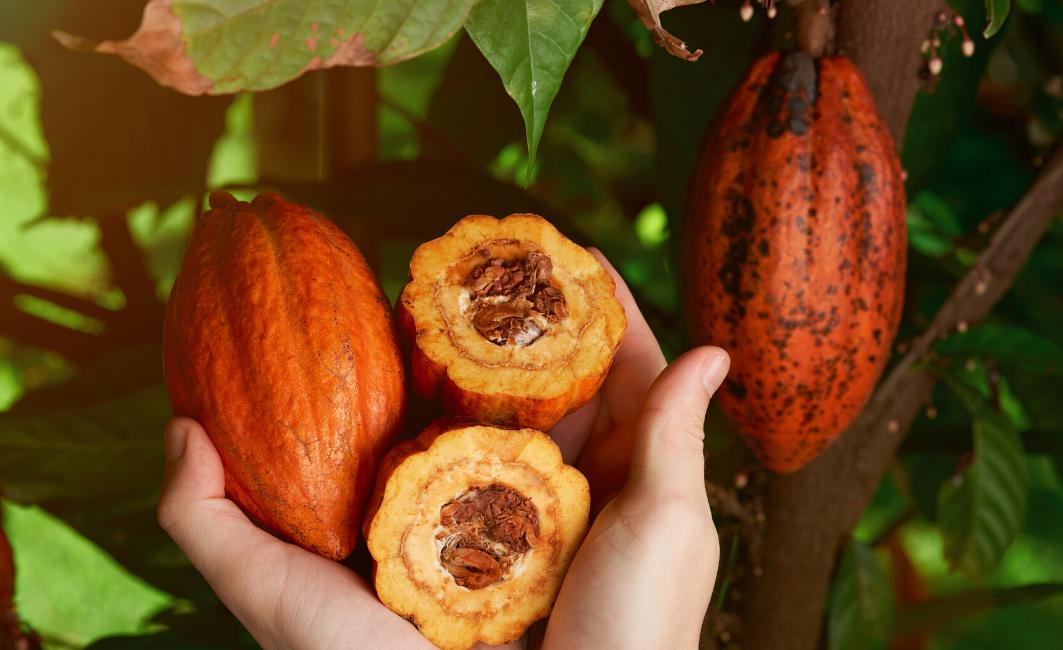 judith-rolf-cacao